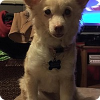 Pomeranian/Chihuahua Mix Dog for adoption in Delaware, Ohio - Sally