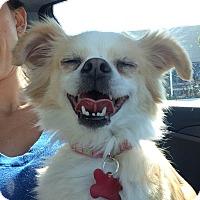 Adopt A Pet :: Blondie - Encino, CA