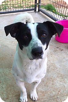 Corgi/Jack Russell Terrier Mix Dog for adoption in Tullahoma, Tennessee - Bogie