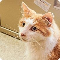 Adopt A Pet :: Puff - Albany, NY