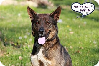 Australian Shepherd/Shepherd (Unknown Type) Mix Dog for adoption in Lee's Summit, Missouri - Rainbow