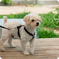 Poodle (Miniature) Mix Dog for adoption in Freeport, New York - Pumpkin