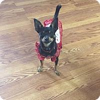 Adopt A Pet :: CHI CHI - Houston, TX