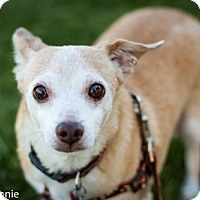 Chihuahua Dog for adoption in Tucson, Arizona - Cosmos