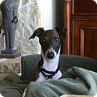 Italian Greyhound Dog for adoption in Richardson, Texas - Gus