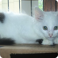 Domestic Mediumhair Kitten for adoption in Acme, Pennsylvania - ANDRE
