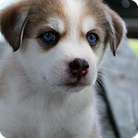 Adopt A Pet :: Belle - Grand Rapids, MI