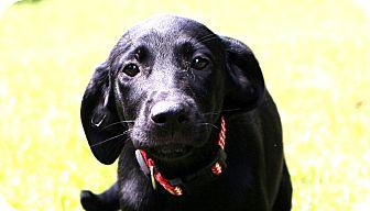 Labrador Retriever Mix Puppy for adoption in Glastonbury, Connecticut - Clara~ meet me!