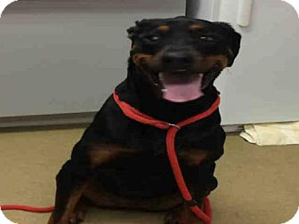 Rottweiler/Doberman Pinscher Mix Dog for adoption in Easton, Maryland - FELICIA