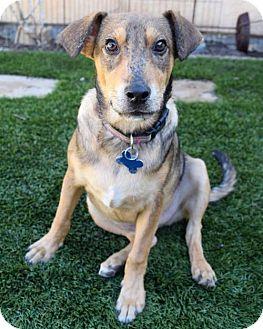 Hound (Unknown Type)/Labrador Retriever Mix Dog for adoption in San Diego, California - Shindy Pup - Saddle