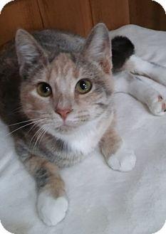 Domestic Shorthair Kitten for adoption in Witter, Arkansas - Peaches (6-month girl)