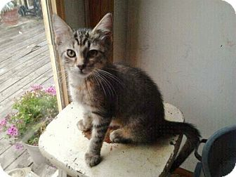 Domestic Shorthair Kitten for adoption in Byron Center, Michigan - Tigerlily