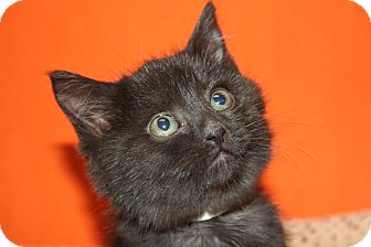 Bombay Kitten for adoption in SILVER SPRING, Maryland - ISABEL