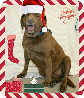 Chesapeake Bay Retriever Dog for adption in Melbourne, Kentucky - Luella