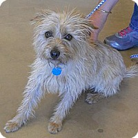 Adopt A Pet :: Molly - Wickenburg, AZ