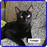 Domestic Shorthair Cat for adoption in Miami, Florida - Tobago