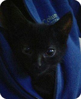American Shorthair Kitten for adoption in Alexandria, Kentucky - Sherman