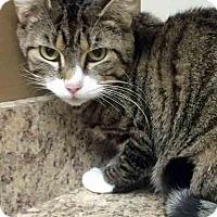 Adopt A Pet :: Pancake - Gahanna, OH