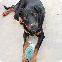 Doberman Pinscher/Hound (Unknown Type) Mix Dog for adoption in Nuevo, California - Casey