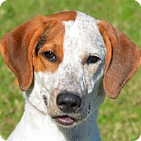 Coonhound/Pointer Mix Dog for adoption in Englewood, Florida - Butterscotch