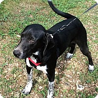 Basset Hound/Australian Cattle Dog Mix Dog for adoption in Plainfield, Connecticut - Carson