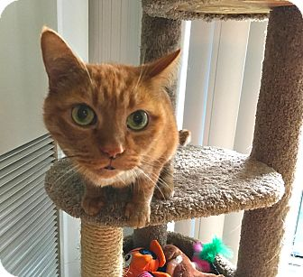 Domestic Shorthair Cat for adoption in Toronto, Ontario - Pumpkin
