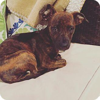 Dachshund Mix Puppy for adoption in oklahoma city, Oklahoma - Heidi