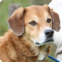 Golden Retriever Mix Dog for adoption in Marietta, Ohio - Chance (Neutered)