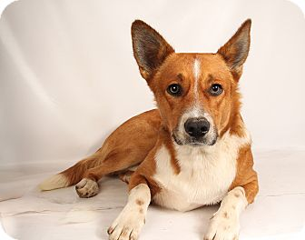 Corgi Mix Dog for adoption in St. Louis, Missouri - Cedrick CorgiMix