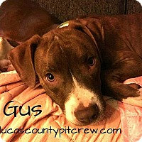 American Pit Bull Terrier/American Staffordshire Terrier Mix Dog for adoption in Toledo, Ohio - Gus