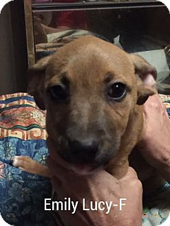 Labrador Retriever Mix Puppy for adoption in Southington, Connecticut - Emily Lucy