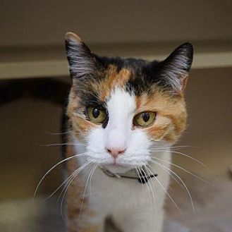 Domestic Shorthair Cat for adoption in Denver, Colorado - Snickers