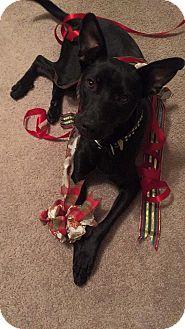 Pharaoh Hound/Labrador Retriever Mix Dog for adoption in Charleston, South Carolina - Batman