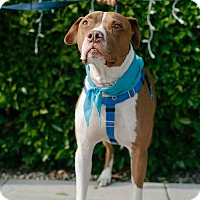 Adopt A Pet :: Rocky is a STAR! - Los Angeles, CA