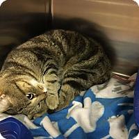 Adopt A Pet :: Sully - Richboro, PA
