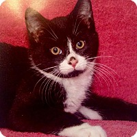 Adopt A Pet :: Figaro - River Edge, NJ