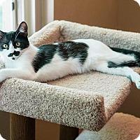 "Adopt A Pet :: Black Pantherette ""BP"" - Santa Ana, CA"