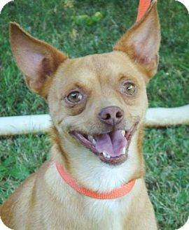 Chihuahua Mix Dog for adoption in Red Bluff, California - Shaggy