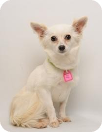 Papillon/Pomeranian Mix Dog for adoption in Santa Cruz, California - Miss Tickle