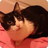 Domestic Shorthair Cat for adoption in New York, New York - Sophy
