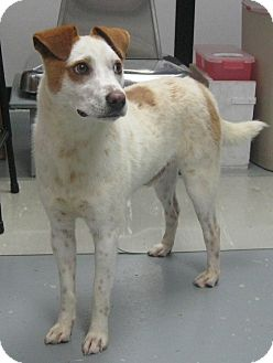 Pointer Mix Dog for adoption in Manning, South Carolina - Slick