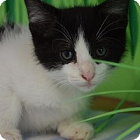 Domestic Shorthair Kitten for adoption in Bradenton, Florida - Chewy