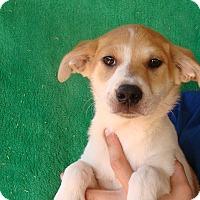 Adopt A Pet :: Akela - Oviedo, FL