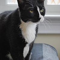 Adopt A Pet :: Felix - Bensalem, PA