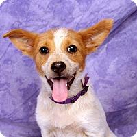 Adopt A Pet :: Ivory Cattledog - St. Louis, MO