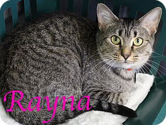 Domestic Shorthair Cat for adoption in Bradenton, Florida - Rayna