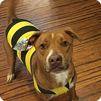 Labrador Retriever/American Staffordshire Terrier Mix Dog for adoption in Huntsville, Alabama - Bo Dog