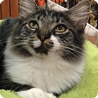 Domestic Mediumhair Kitten for adoption in Wilmore, Kentucky - Two Bells