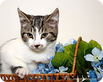 Domestic Shorthair Kitten for adoption in Hazel Park, Michigan - Leo