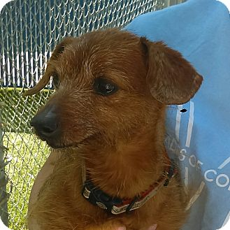 Terrier (Unknown Type, Small) Mix Dog for adoption in Chula Vista, California - Cyrus